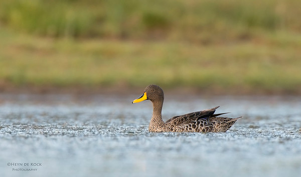 Yellow-billed Teal, Hobhouse, FS, SA, Jan 2014