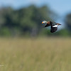 African Pygmy Goose, Eagle Island, Okavango Delta, Botswana, May 2017-6