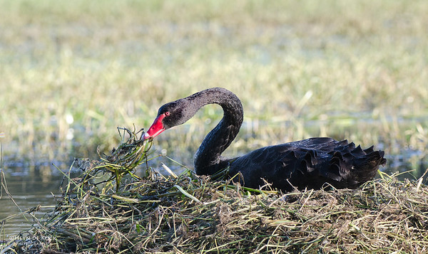 Black Swan, Nowra, NSW, Aus, May 2012
