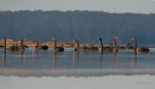 Black Swans, Lake Woolumbulla, NSW, Aus, Jun-1