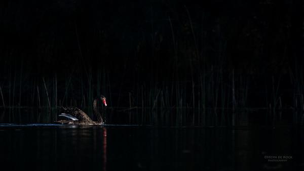 Black Swan, Gold Coast, Sept 2011