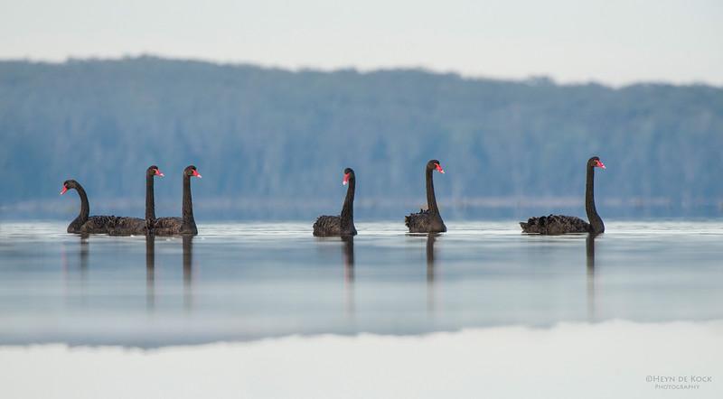 Black Swans, Lake Woolumbulla, NSW, Aus, Jul 2014-1