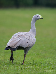 Cape Barren Goose, Eaglehawk Neck Pelagic, TAS, July 2015-1