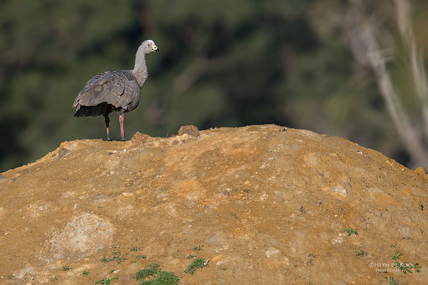 Cape Barren Goose, Eaglehawk Neck, TAS, Sept 2016-2