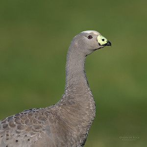 Cape Barren Goose, Eaglehawk Neck, TAS, Sept 2016-1