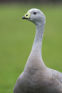 Cape Barren Goose, Eaglehawk Neck Pelagic, TAS, July 2015-2