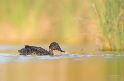 Freckled Duck, Millpark Lakes, Melbourne, VIC, Apr 2014-6