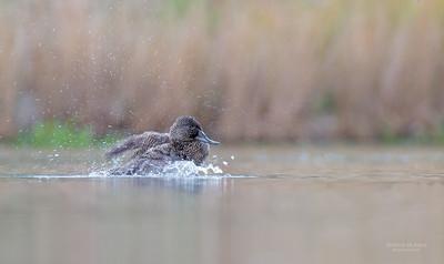 Freckled Duck, Millpark Lakes, Melbourne, VIC, Apr 2014-7