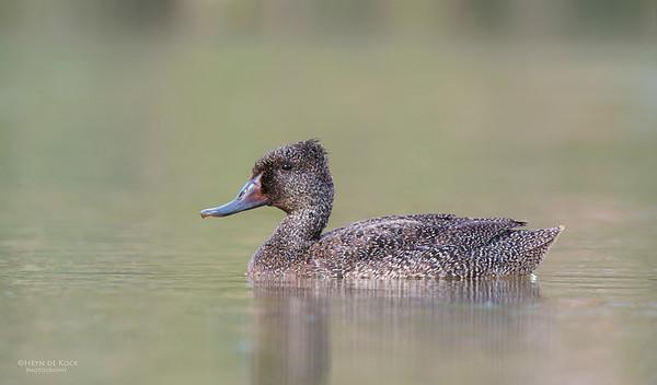 Freckled Duck, Millpark Lakes, Melbourne, VIC, Apr 2014-5