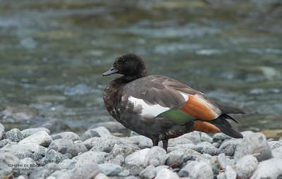 Paradise Shelduck, Monkey Creek, Fiordland NP, SI, NZ, Jan 2013