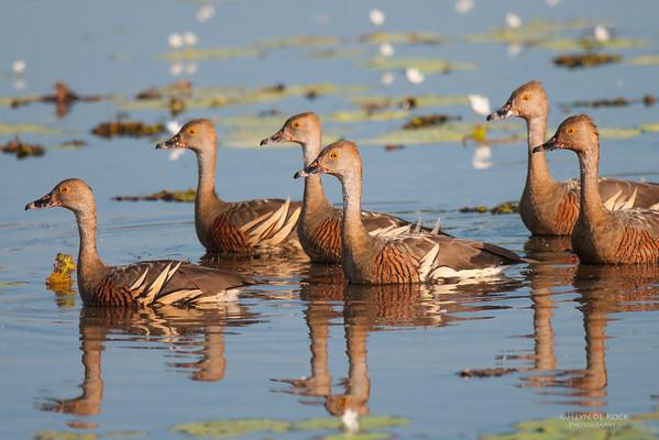Plumed Whistling-Duck, Kakadu NP, NT, Oct 2010