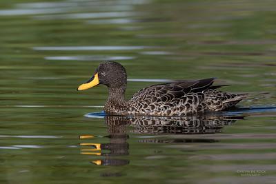 Yellow-billed Duck, Intaka Island, Cape Town, Sept 2016-2