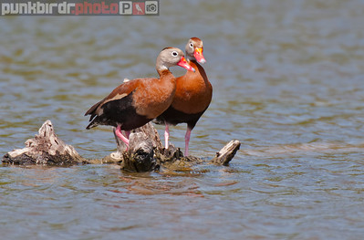 black-bellied whistling-duck (dendrocygna autumnalis)