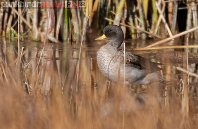 Yellow-billed Teal (Anas flavirostris)