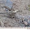 Golden-crowned Sparrow J76390
