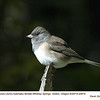 Oregon Junco F20819