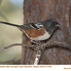 Spotted Towhee M77026
