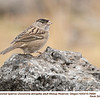 Golden-crowned Sparrow A76694