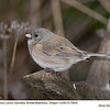 Oregon Junco F79942