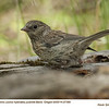 Oregon Junco J27380