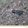 White-eared Ground-Sparrow A86108
