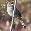 Golden-crowned Sparrow J78226