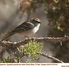 Chipping Sparrow A67447
