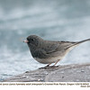 Slate-colored Junco A80543