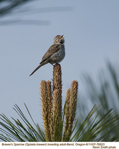 Brewer'sSparrow76823
