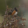 Spotted Towhee F53610