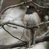 Oregon Junco M65754
