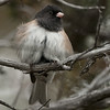 Oregon Junco M65760