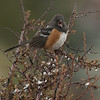 Spotted Towhee F53608
