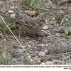 Golden-crowned Sparrow  J76386