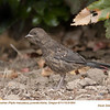 Spotted Towhee J91664