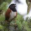 Spotted Towhee M91583