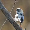 Golden-crowned Sparrow leucistic A98047