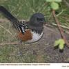 Spotted Towhee M77020