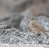 Golden-crowned Sparrow J76682