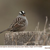 White-crowned Sparrow A53667