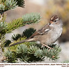 White-crowned Sparrow J27221