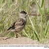 Golden-crowned Sparrow A68428