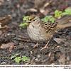 Golden-crowned Sparrow  J80917