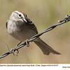 Chipping Sparrow A67477