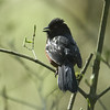 Spotted Towhee M21876