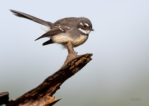 Grey Fantail, Oxley Creek Common, QLD, Jul 2018