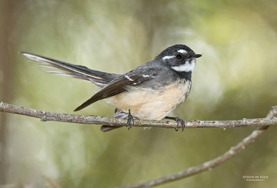 Grey Fantail, Sheep Station CR, QLD, Aus