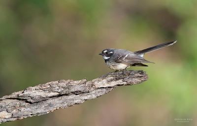 Grey Fantail, Tallai, QLD