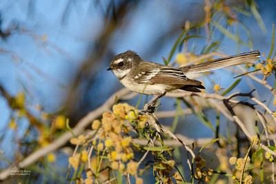 Grey Fantail, Alice Springs, NT, Jun 2012