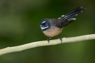 New Zealand Fantail, Tiritiri Matangi, NZ, March 2015